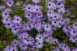 October Skies Aster (Aster oblongifolius 'October Skies') at Chalet Nursery