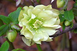 Golden Lotus Hellebore (Helleborus 'Golden Lotus') at Chalet Nursery