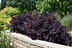 Royal Purple Smokebush (Cotinus coggygria 'Royal Purple') at Chalet Nursery