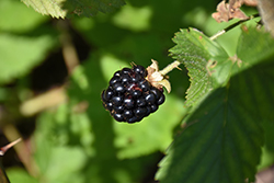 Jewel Black Raspberry (Rubus occidentalis 'Jewel') at Chalet Nursery