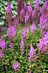 Purple Candles Astilbe (Astilbe chinensis 'Purple Candles') at Chalet Nursery