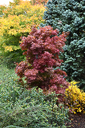 Twombly's Red Sentinel Japanese Maple (Acer palmatum 'Twombly's Red Sentinel') at Chalet Nursery