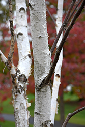 White Satin Birch (Betula utilis 'White Satin') at Chalet Nursery