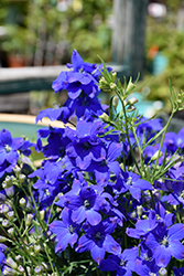 Diamonds Blue Delphinium (Delphinium grandiflorum 'Diamonds Blue') at Chalet Nursery