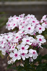 White Eye Flame Garden Phlox (Phlox paniculata 'White Eye Flame') at Chalet Nursery