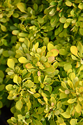 Tiny Gold Barberry (Berberis thunbergii 'Tiny Gold') at Chalet Nursery