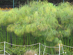 Papyrus (Cyperus papyrus) at Chalet Nursery