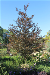 Rivers Purple Beech (Fagus sylvatica 'Riversii') at Chalet Nursery