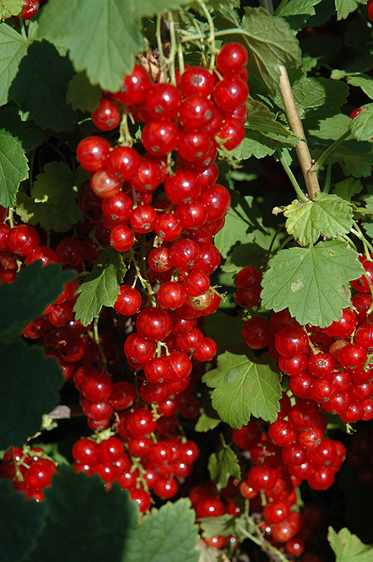 Red Lake Red Currant Ribes Sativum Red Lake In