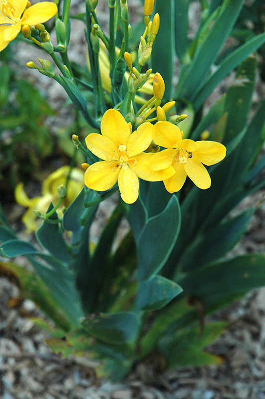 Hello Yellow Blackberry Lily Iris Domestica Hello Yellow