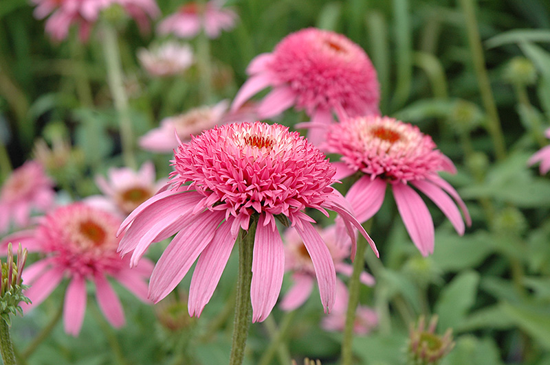 Cone Fections Pink Double Delight Coneflower Echinacea