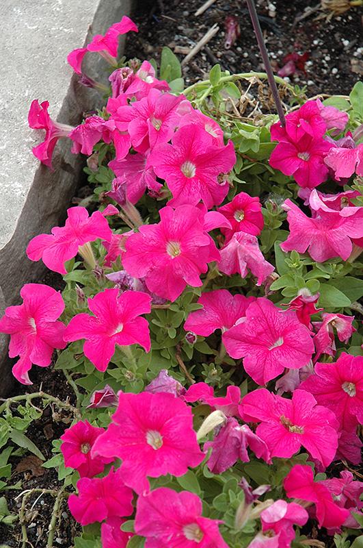 Pretty Grand Deep Pink Petunia Petunia Pretty Grand Deep