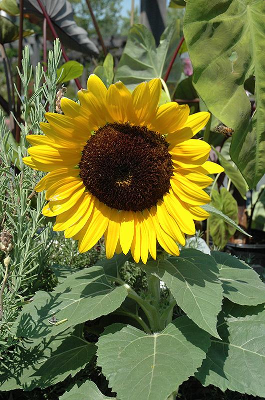 Miss Sunshine Annual Sunflower Helianthus Annuus Miss