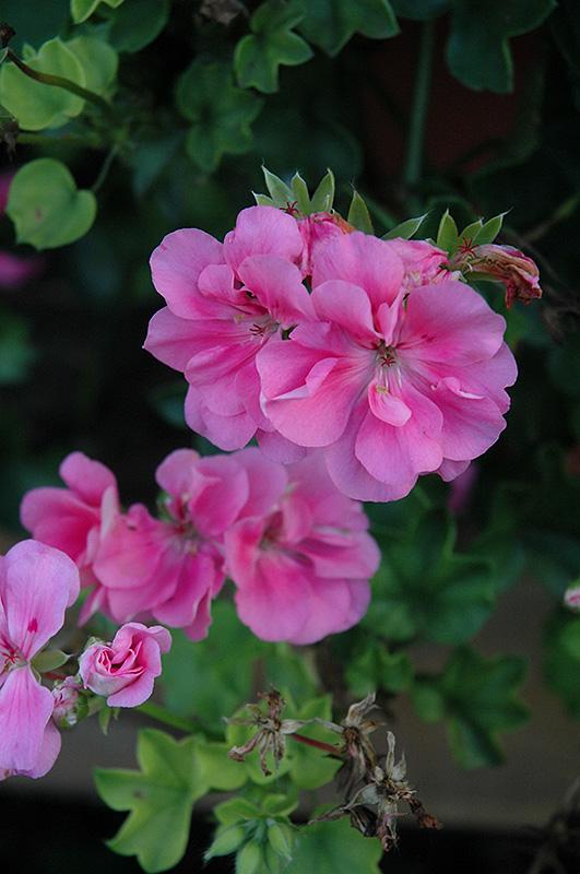 Precision Light Pink Ivy Leaf Geranium Pelargonium
