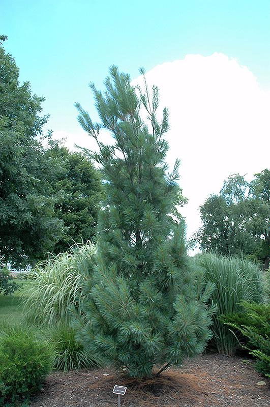 Columnar White Pine Pinus Strobus Fastigiata In