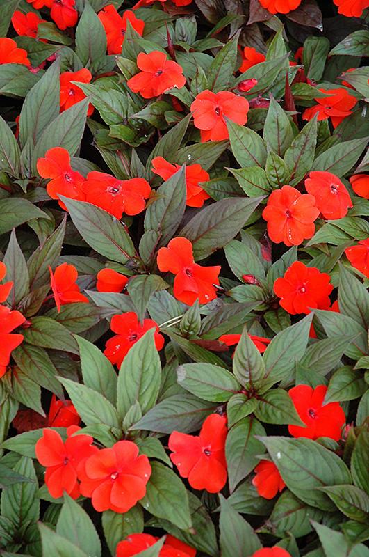 Divine™ Orange Bronze Leaf New Guinea Impatiens (Impatiens ...