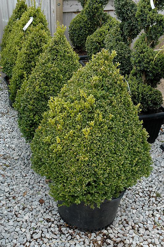 Green Mountain Boxwood Pyramid Form Buxus Green