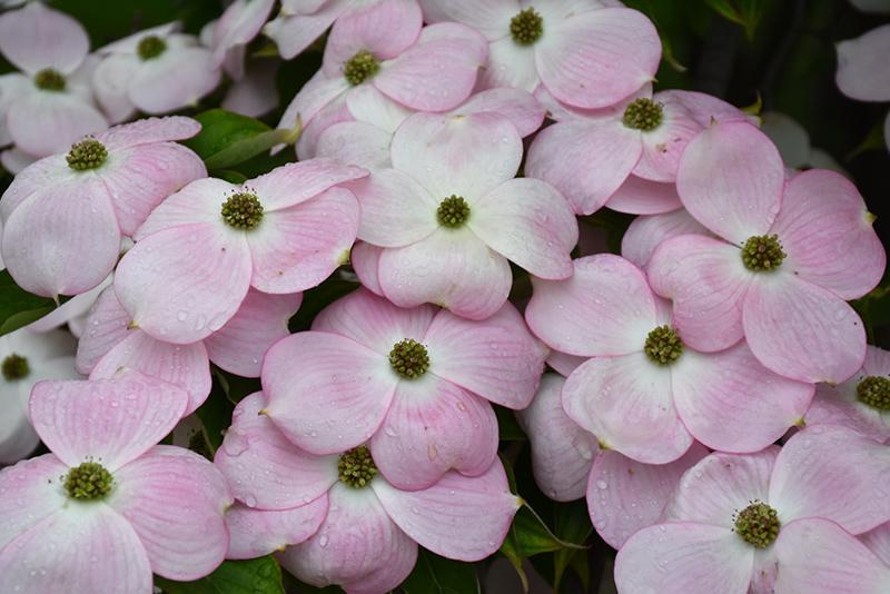 Stellar Pink Flowering Dogwood Cornus In