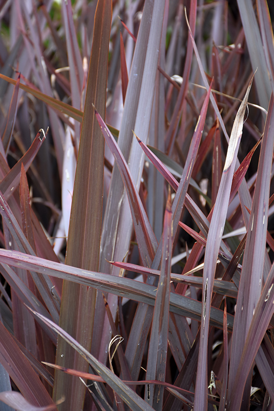 New Zealand Flax Phormium Amazing Red