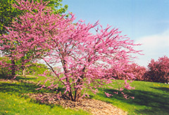 Northern Strain Redbud (Cercis canadensis 'Northern Strain') at Chalet Nursery