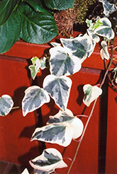 Variegated English Ivy (Hedera helix 'Variegata') at Chalet Nursery