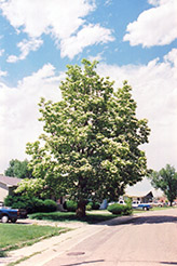 Northern Catalpa (Catalpa speciosa) at Chalet Nursery
