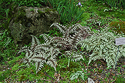 Japanese Painted Fern (Athyrium nipponicum 'Pictum') at Chalet Nursery