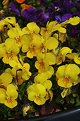 Penny Yellow Pansy (Viola cornuta 'Penny Yellow') at Chalet Nursery
