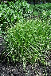 Palm Sedge (Carex muskingumensis) at Chalet Nursery