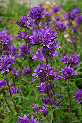 Clustered Bellflower (Campanula glomerata) at Chalet Nursery
