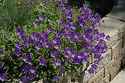 Blue Clips Bellflower (Campanula carpatica 'Blue Clips') at Chalet Nursery