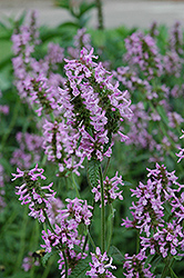 Betony (Stachys officinalis) at Chalet Nursery