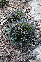 Chocolate Chip Bugleweed (Ajuga reptans 'Chocolate Chip') at Chalet Nursery