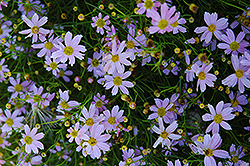 Pink Tickseed (Coreopsis rosea) at Chalet Nursery