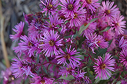 Woods Pink Aster (Aster 'Woods Pink') at Chalet Nursery