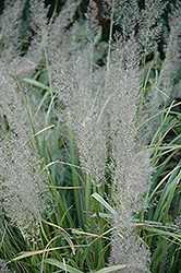 Korean Reed Grass (Calamagrostis brachytricha) at Chalet Nursery
