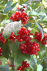Wentworth Highbush Cranberry (Viburnum trilobum 'Wentworth') at Chalet Nursery