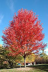 Autumn Blaze Maple (Acer x freemanii 'Jeffersred') at Chalet Nursery