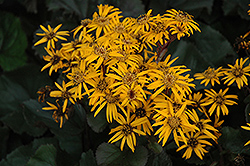 Britt Marie Crawford Rayflower (Ligularia dentata 'Britt Marie Crawford') at Chalet Nursery