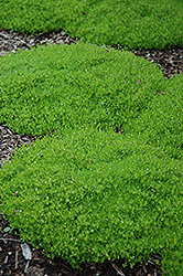 Irish Moss (Sagina subulata) at Chalet Nursery