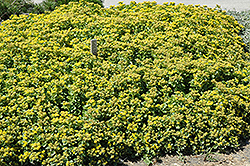 Golden Carpet Stonecrop (Sedum kamtschaticum 'Golden Carpet') at Chalet Nursery