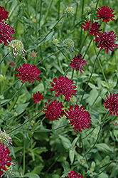 Crimson Scabious (Knautia macedonica) at Chalet Nursery