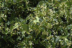 Greenspire Linden (Tilia cordata 'Greenspire') at Chalet Nursery