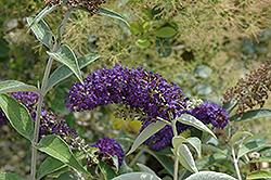 Adonis Blue Butterfly Bush (Buddleia davidii 'Adokeep') at Chalet Nursery