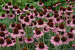 Pixie Meadowbrite Coneflower (Echinacea 'Pixie Meadowbrite') at Chalet Nursery