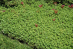 John Creech Stonecrop (Sedum spurium 'John Creech') at Chalet Nursery