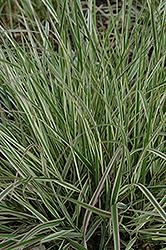 Variegated Reed Grass (Calamagrostis x acutiflora 'Overdam') at Chalet Nursery