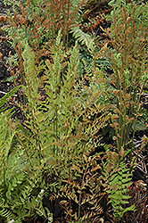 Royal Fern (Osmunda regalis) at Chalet Nursery