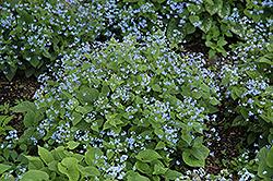 Siberian Bugloss (Brunnera macrophylla) at Chalet Nursery