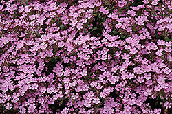 Home Fires Woodland Phlox (Phlox stolonifera 'Home Fires') at Chalet Nursery
